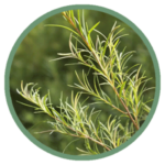 tea-tree-oil.png